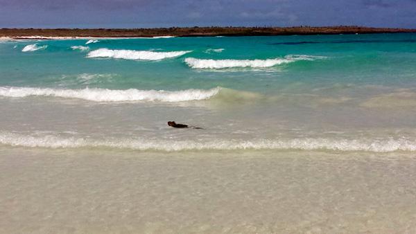 Iguana swimming in Tortuga Bay